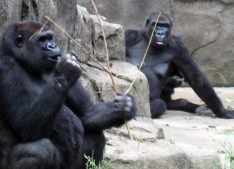 Zoo workers had to shoot and kill a 17 year-old western lowland gorilla named, Harambe, that was killed when a young boy ended up in the gorilla enclosure. Photo attribution to Jere Keys on Flickr.